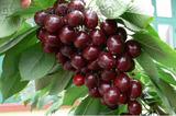 早熟甜樱桃品种桑提娜